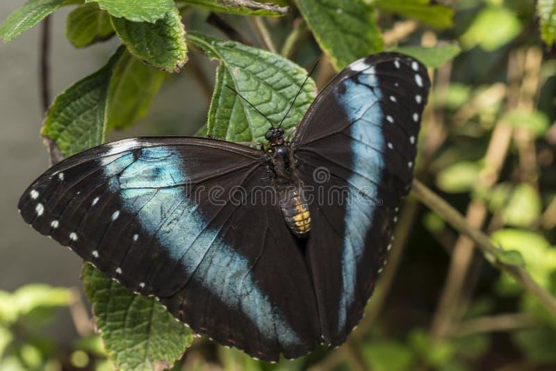 Aquiles Morpho, Mariposa Azul-congregada De Morpho Fotos de archivo