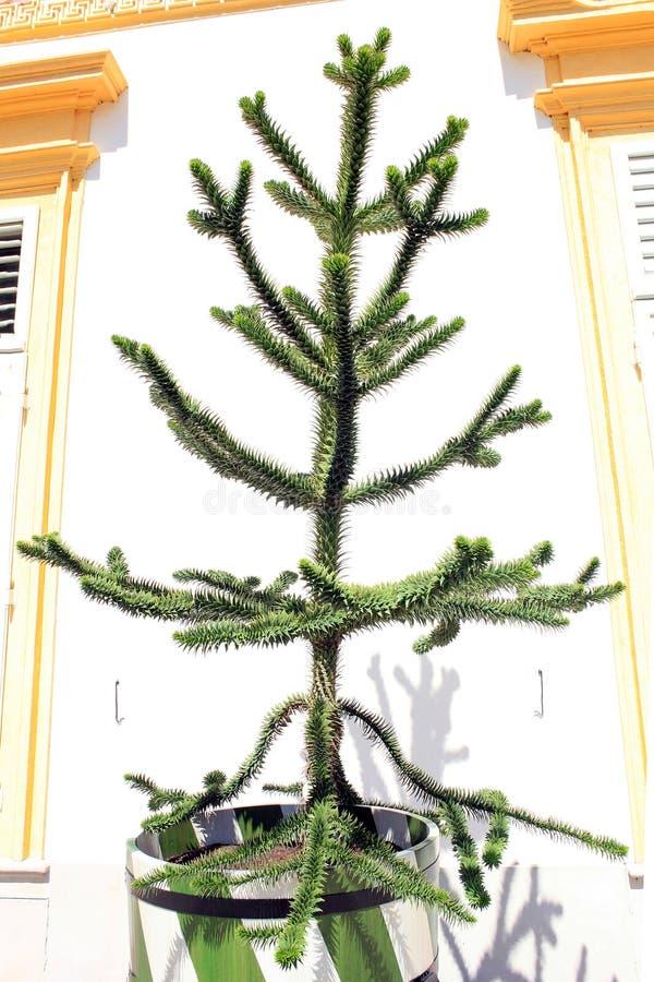 El araucana de la araucaria del árbol crece en tina imágenes de archivo libres de regalías