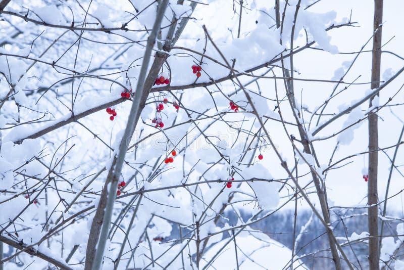 El arbusto con las bayas rojas Día Nevado en un paisaje del invierno de la calma del bosque imagenes de archivo