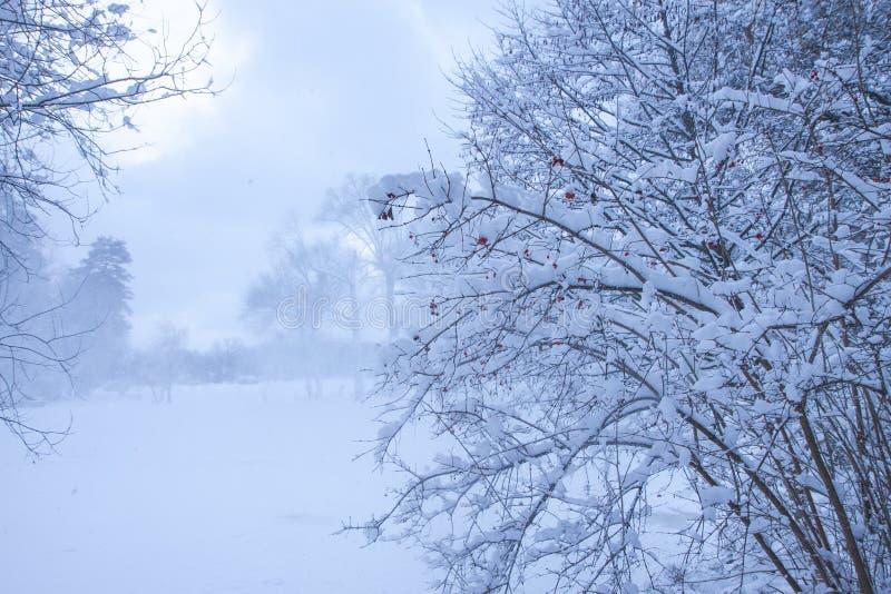El arbusto con las bayas rojas Día Nevado en un paisaje del invierno de la calma del bosque imágenes de archivo libres de regalías