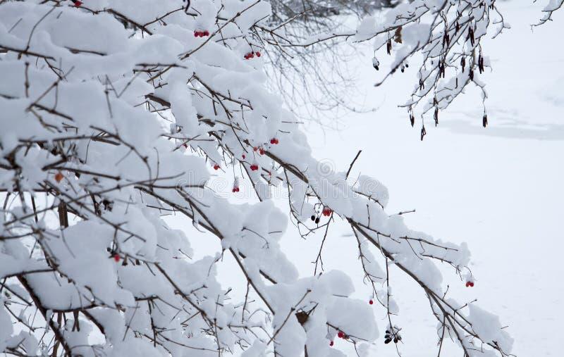 El arbusto con las bayas rojas Día Nevado en un paisaje del invierno de la calma del bosque fotografía de archivo libre de regalías
