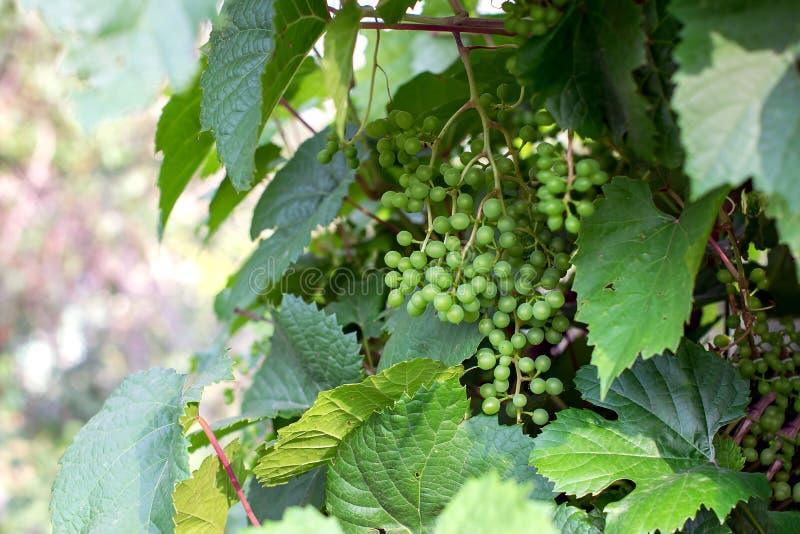 El arbusto de la uva crece en un viñedo La vid con el pequeño raceme verde inmaduro agrupa de uvas en granja imagenes de archivo
