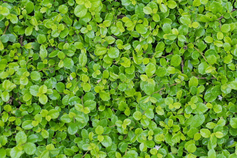 El arbusto del árbol del té de Fujian, arbusto del té de Fujian, cultiva un huerto backg de la planta verde fotografía de archivo