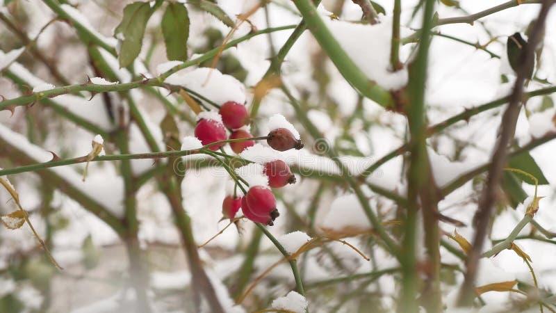 El arbusto rojo y las bayas de la baya de la rosa salvaje cubiertos con nieve hielan el invierno de la naturaleza foto de archivo libre de regalías