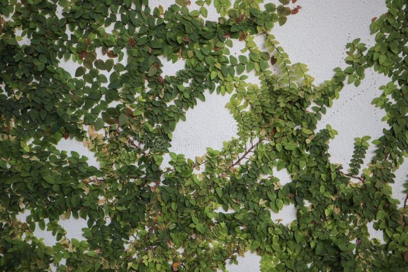 El arbusto verde crece en un muro de cemento Hojas del verde en el fondo del muro de cemento imágenes de archivo libres de regalías