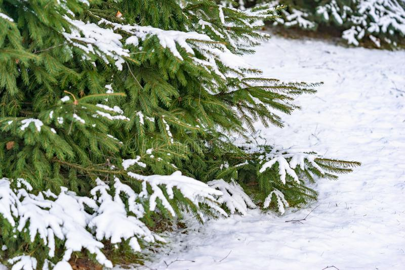 El arbusto verde de una raspa de arenque se cubre con nieve foto de archivo libre de regalías