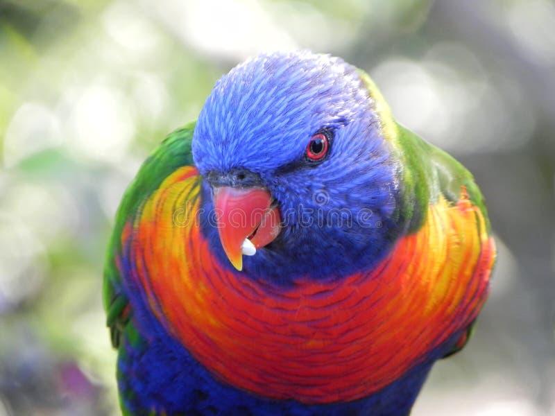 El arco iris Lorikeet come la semilla fotografía de archivo libre de regalías