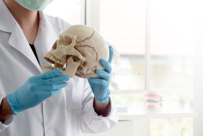 El arqueólogo o el científico lleva los guantes de goma azules que llevan a cabo el modelo del cráneo para estudiar la anatomía h fotos de archivo libres de regalías