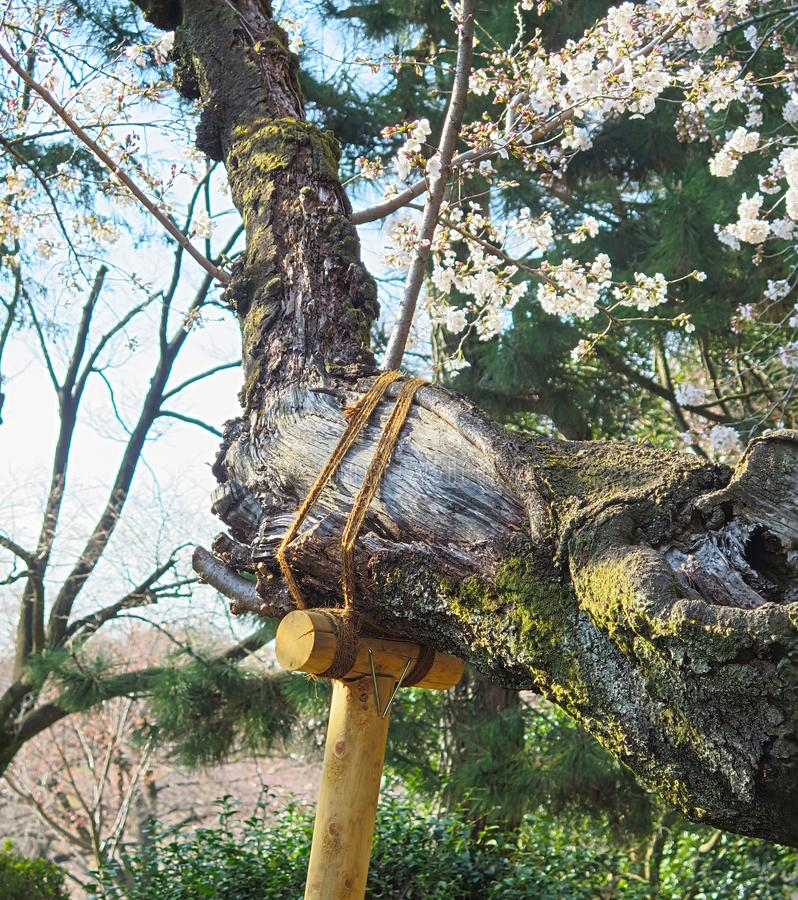 El arreglo japonés un árbol viejo en un jardín tradicional japonés, tronco de Sakura del cerezo con la ayuda de bambú imagen de archivo libre de regalías