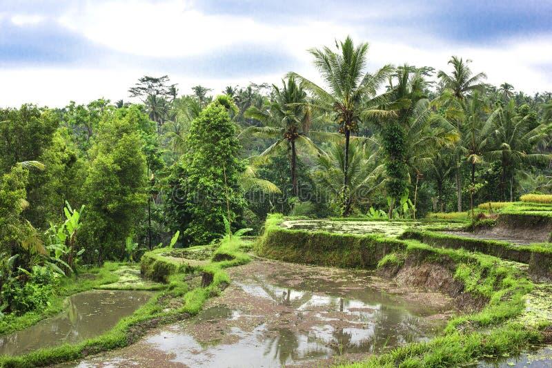 El arroz coloca en Tailandia, Vietnam o Bali colgante foto de archivo