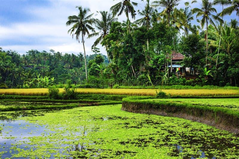 El arroz coloca en Tailandia, Vietnam o Bali colgante imagenes de archivo