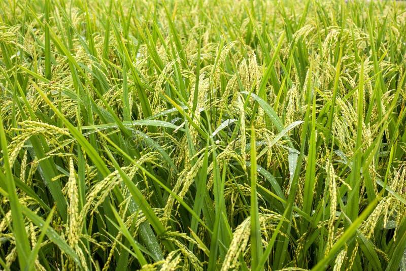 El arroz coloca en Tailandia, Vietnam o Bali colgante fotos de archivo libres de regalías