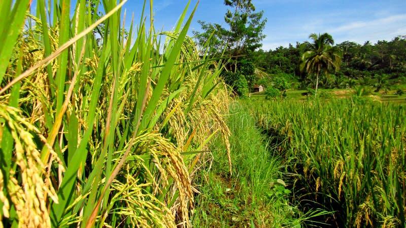 El arroz comenzó a amarillear imagen de archivo libre de regalías