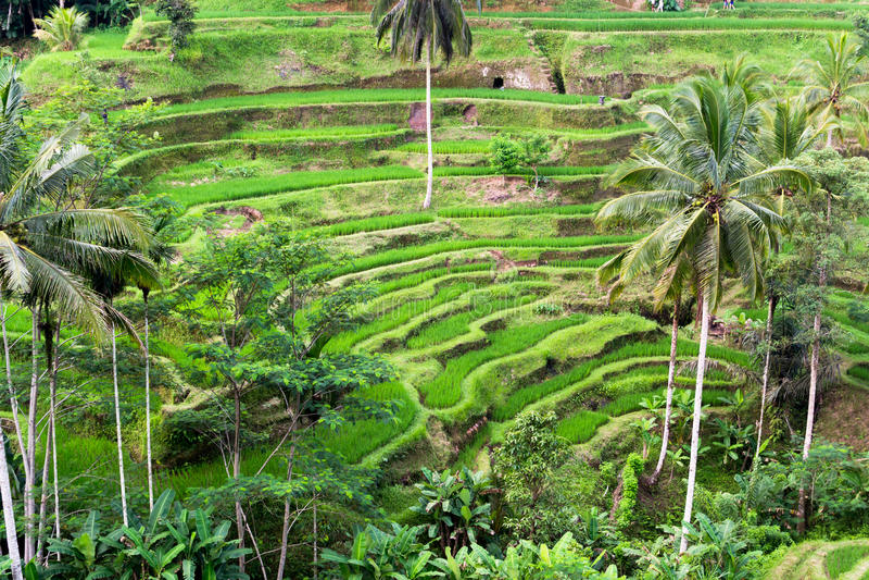 El arroz cosecha la terraza en Bali fotografía de archivo