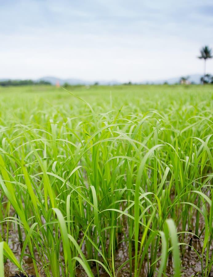 El arroz es un verde hermoso fotos de archivo libres de regalías