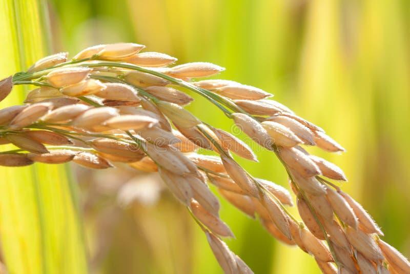 Arroz de arroz maduro fotos de archivo
