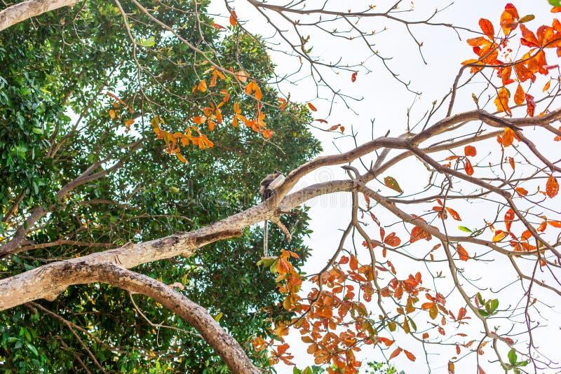 El arroz frito de la estola del ladrón del mono de turistas subió arriba en un árbol y lo come imagen de archivo