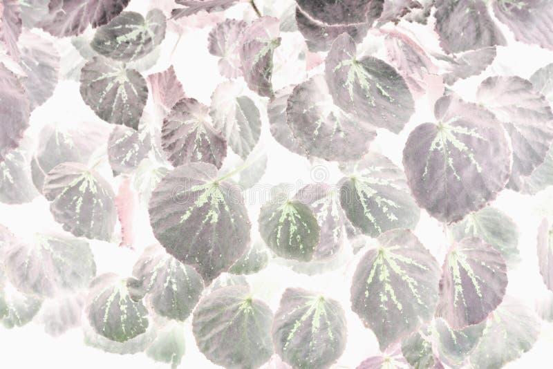 El arte de la begonia verde y rosada hermosa deja el uso para la imagen abstracta para el fondo foto de archivo libre de regalías