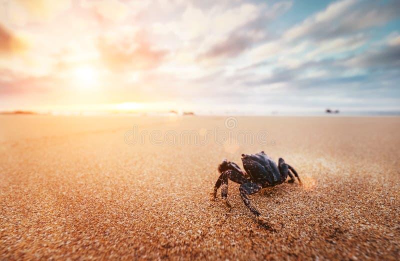 El artrópodo divertido del cangrejo mira en salida del sol en el tiempo de la madrugada imagen de archivo
