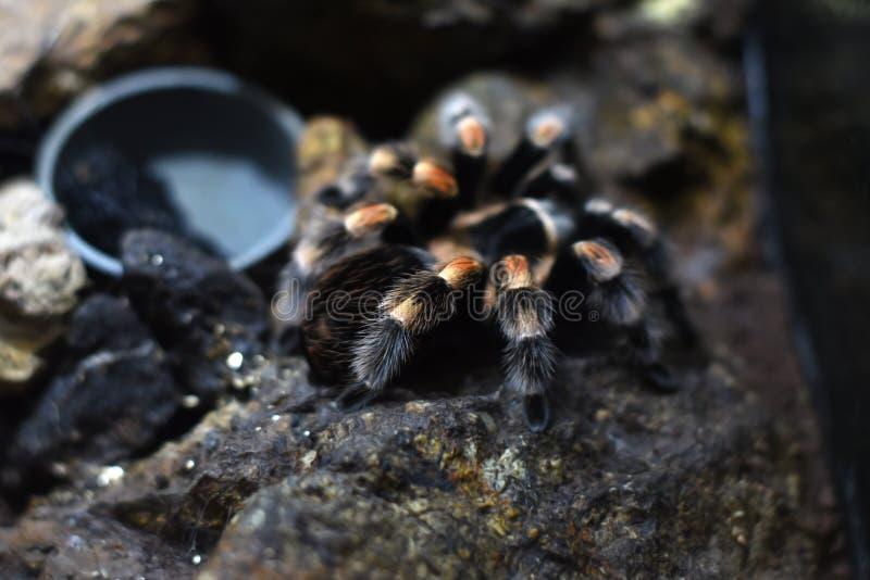 El artrópodo negro con la raya blanca nombró la tarántula de la familia de Theraphosidae fotos de archivo