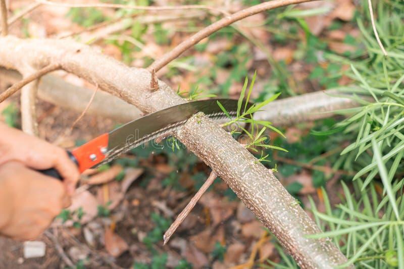 El aserrar de mano de la mujer mayor una rama de árbol con la sierra de poda curvada fotografía de archivo libre de regalías