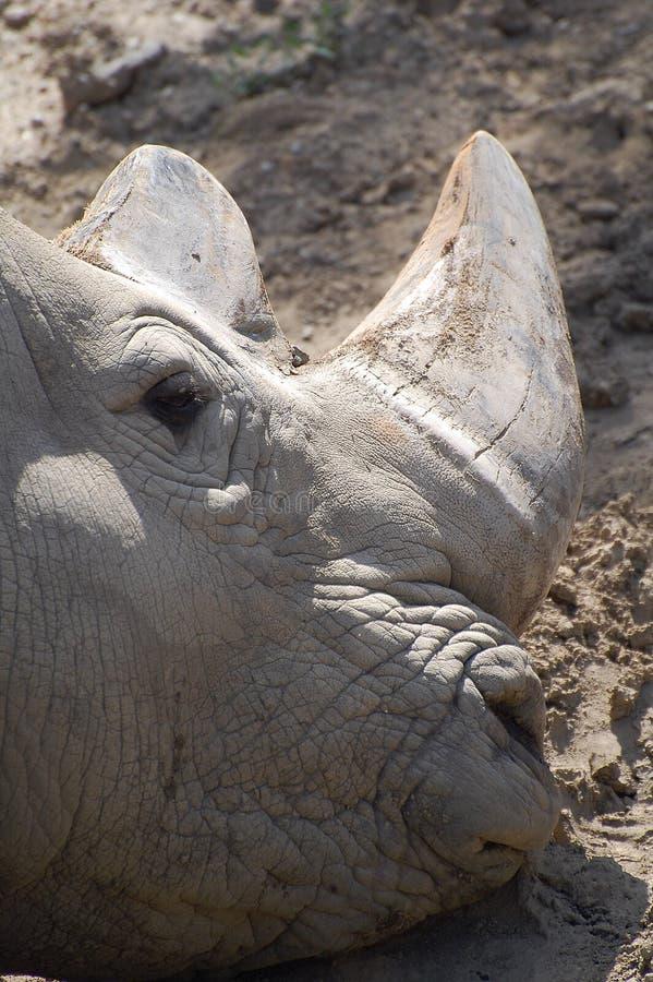 El asolear del rinoceronte negro fotografía de archivo