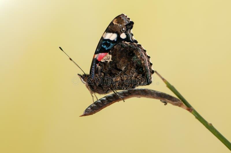 El atalanta de Vanesa de la mariposa, el almirante rojo o previamente, el admirable rojo se sienta en una cuchilla de la hierba e fotos de archivo libres de regalías