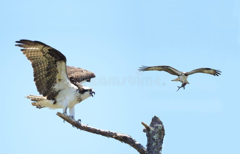 El aterrizaje de Osprey en árbol muerto con él es Mate Flying By con los pescados fotos de archivo