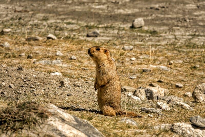El atestiguar de la marmota imagen de archivo