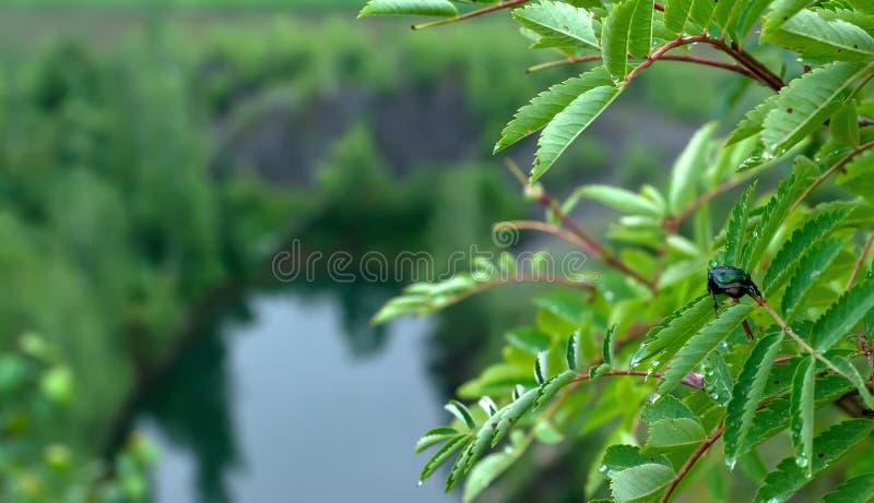 El aurata del cetonia del escarabajo se sienta en una hoja de un árbol encima de una montaña foto de archivo