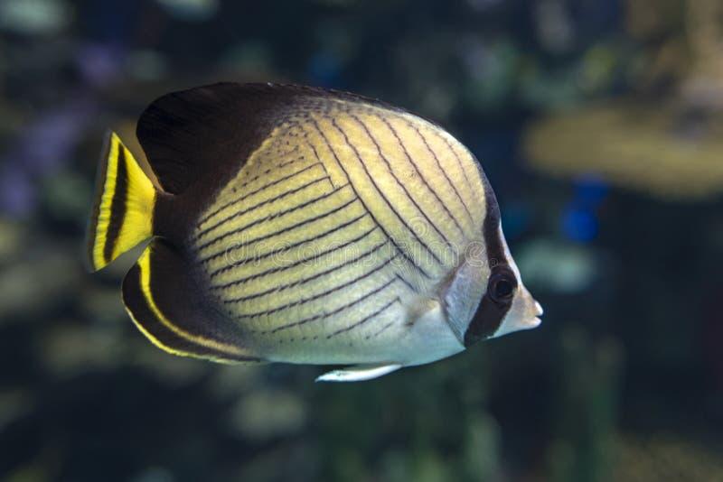 El auriga de Chaetodon de los butterflyfish del threadfin es una especie de Chaetodontidae de la familia de los butterflyfish, pe foto de archivo