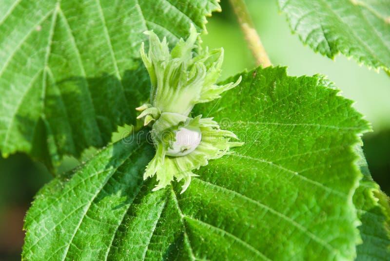 El avellano joven, pone verde nueces de la avellana, crece en un árbol imágenes de archivo libres de regalías
