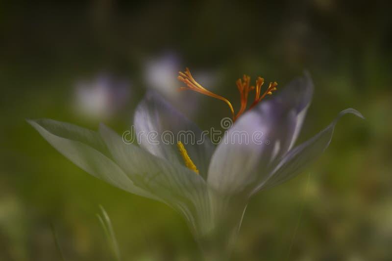 El azafrán de otoño de la flor foto de archivo libre de regalías