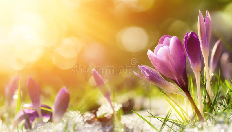 El azafrán florece en la nieve que despierta en luz del sol caliente imagenes de archivo