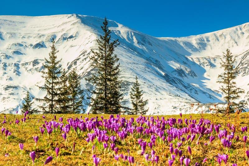 El azafrán florece en las altas montañas y el paisaje de la primavera, Fagaras, Cárpatos, Rumania foto de archivo