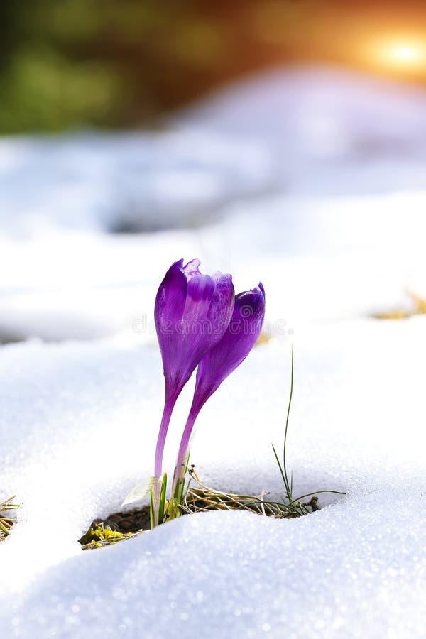 El azafrán púrpura florece en la nieve que despierta en primavera imagenes de archivo