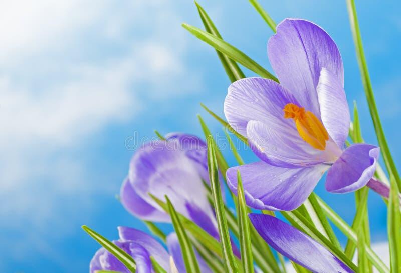 El azafrán púrpura temprana florece en nieve del invierno con el cielo azul y las nubes como fondo o contexto vivas con el espacio fotografía de archivo libre de regalías