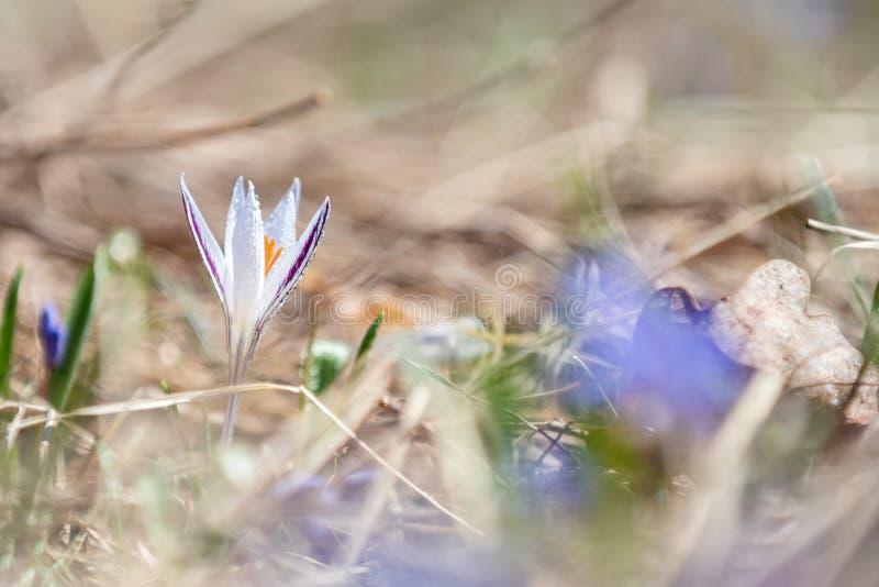 El azafrán salvaje con descensos del agua rodeada por la primavera gotea imagen de archivo