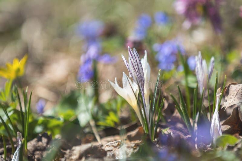 El azafrán salvaje con descensos del agua rodeada por la primavera gotea imagenes de archivo