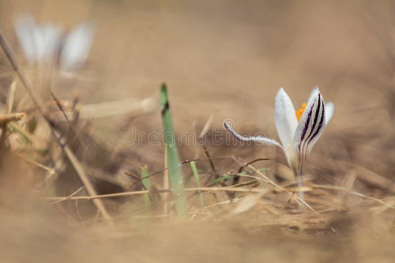 El azafrán salvaje con descensos del agua rodeada por la primavera gotea imágenes de archivo libres de regalías