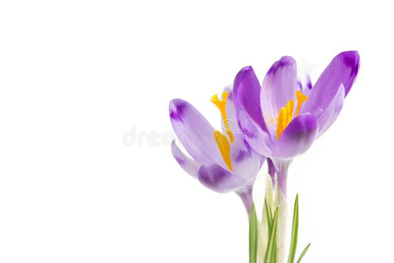 El azafrán violeta florece el ramo aislado en el fondo blanco Cierre hermoso del azafrán de las flores de la primavera para arrib imagen de archivo