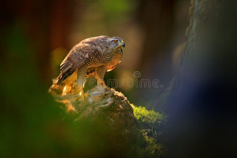 El azor, gentilis del Accipiter, alimentando en las liebres matadas en el ave rapaz del bosque con la piel coge en el nabitat Com fotos de archivo libres de regalías