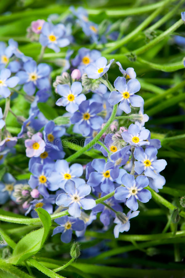 El azul florece nomeolvides imagenes de archivo