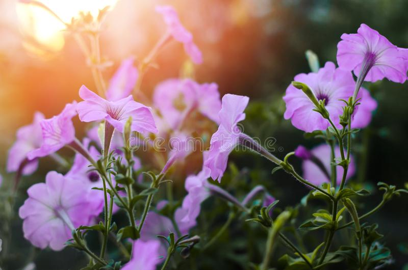 El azul hermoso florece la petunia, papel pintado asombroso Naturaleza imagen de archivo libre de regalías