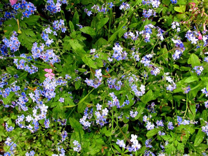 El azul me olvida no las flores en jardín foto de archivo