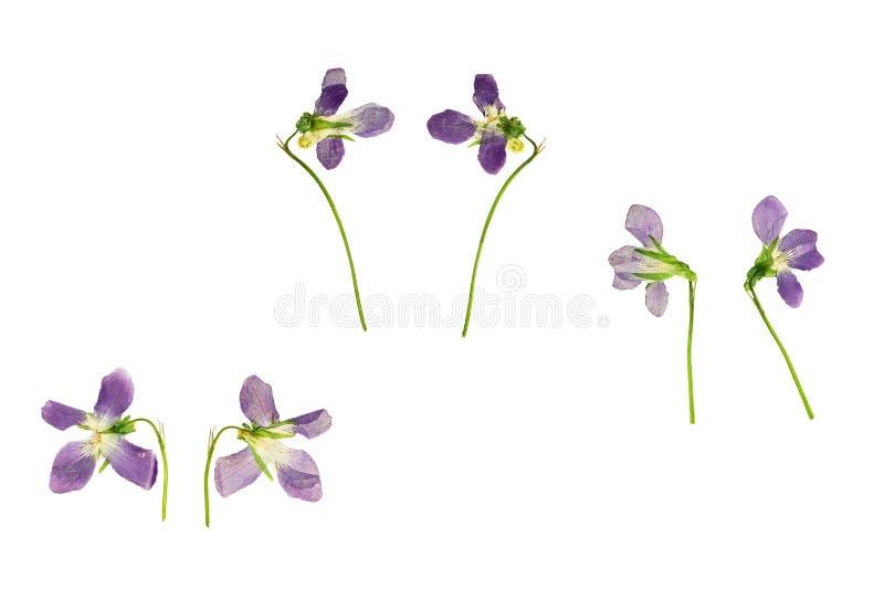El azul presionado y secado florece la violeta del bosque fotografía de archivo libre de regalías
