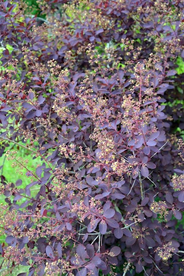 El bérbero púrpura floreciente del thunbergii D del Berberis de Tunberg foto de archivo