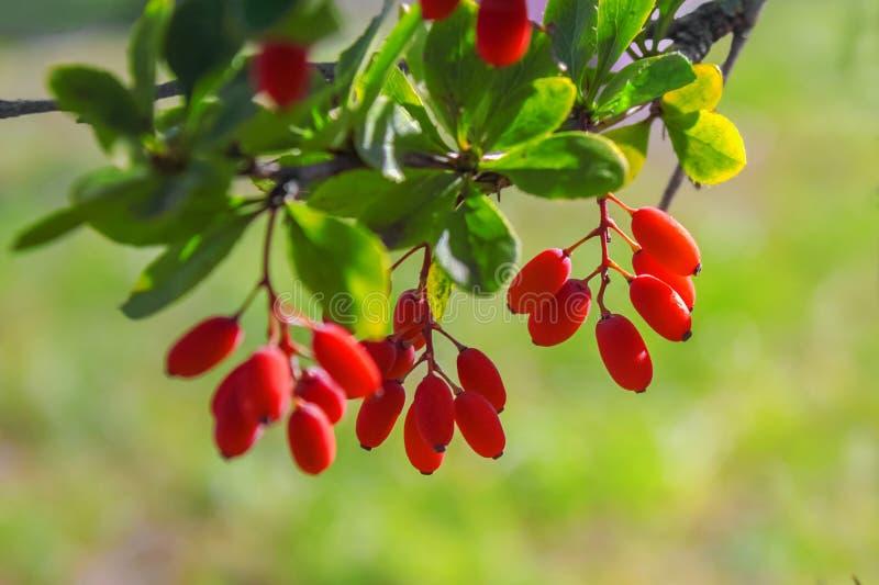 El bérbero rojo cuelga en una rama imagenes de archivo