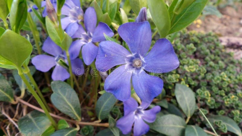 El b?garo azul de la flor floreci? en jardines de rocalla de la primavera imagenes de archivo
