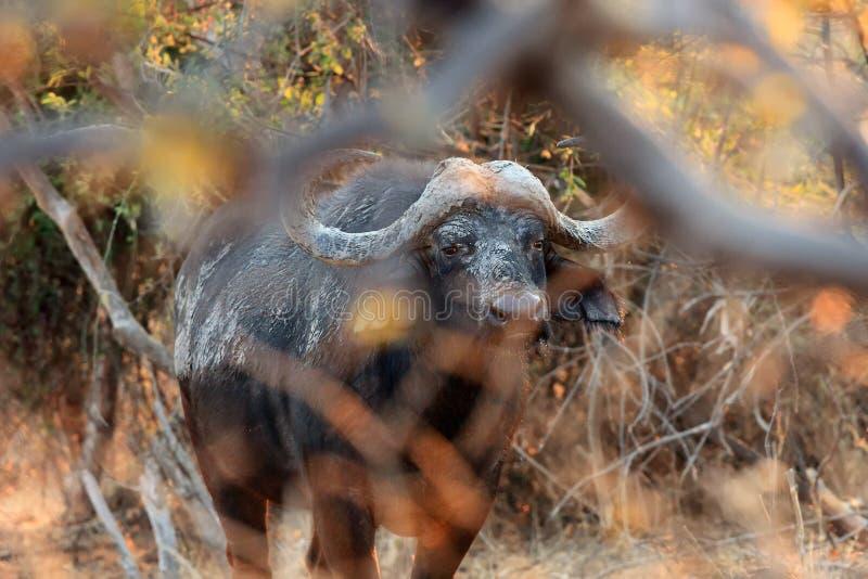 El búfalo africano o caffer de Syncerus del búfalo del cabo está ocultando en matorrales fotografía de archivo libre de regalías